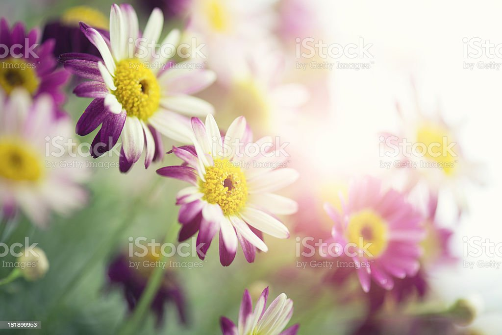 Summer daisy flower in the sun royalty-free stock photo