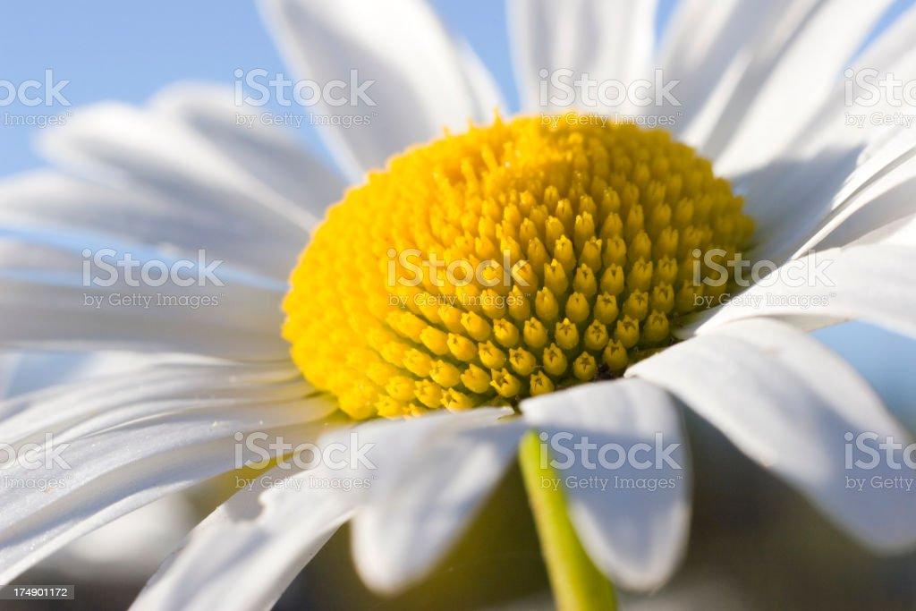 Summer Daisy royalty-free stock photo