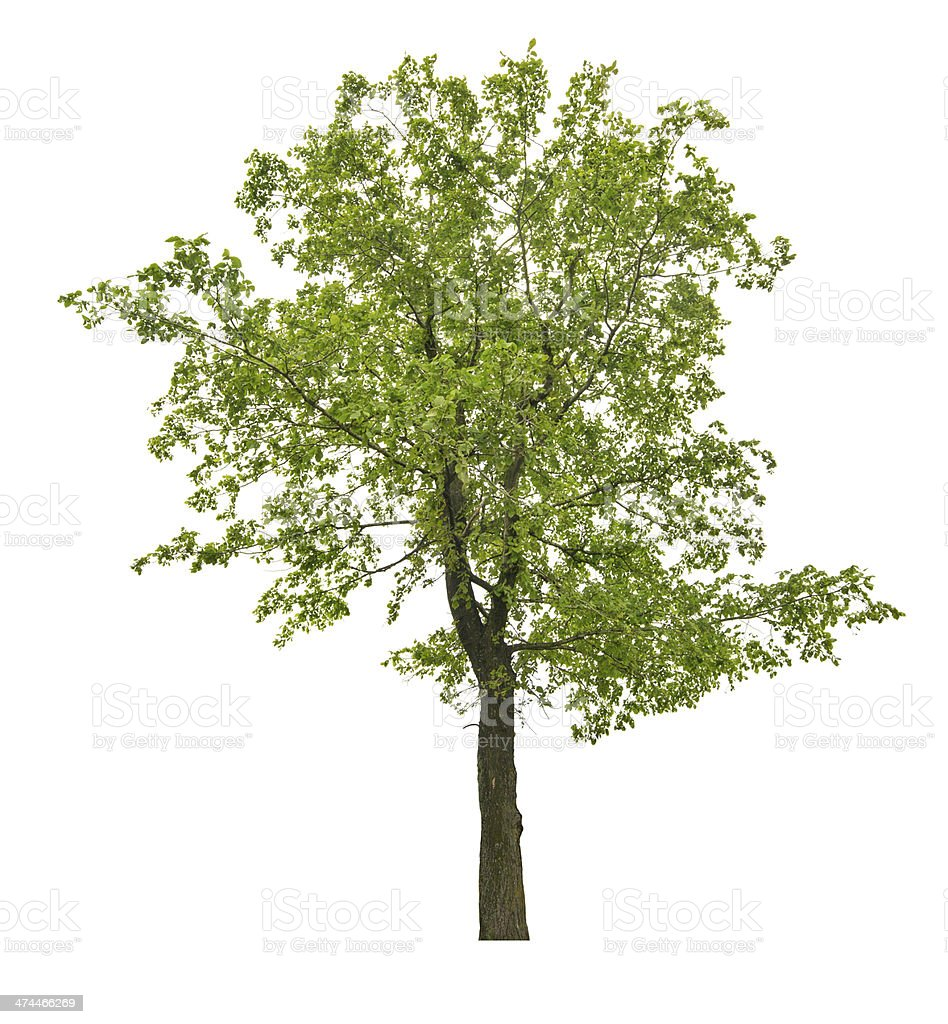 Verano aislado linden árbol verde oscuro - foto de stock