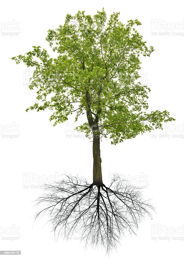 summer dark green linden tree with root stock photo