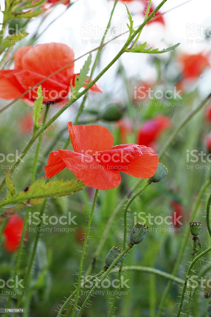 Summer day in  meadow full of blooming poppies royalty-free stock photo