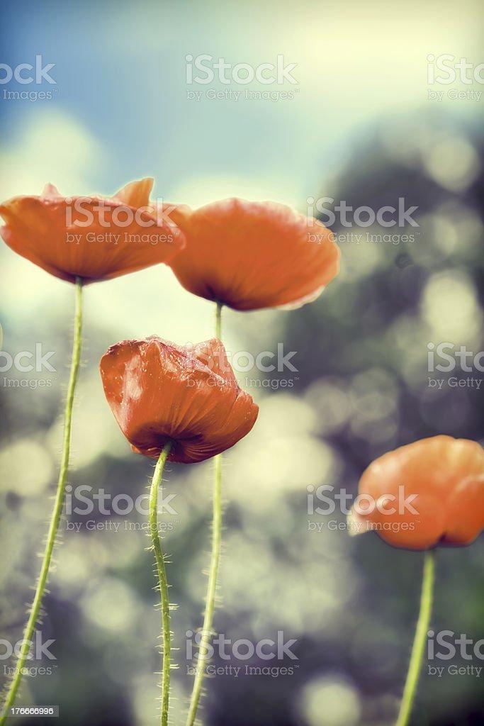 Día de verano en prado completo de pérdida de brillo poppies foto de stock libre de derechos