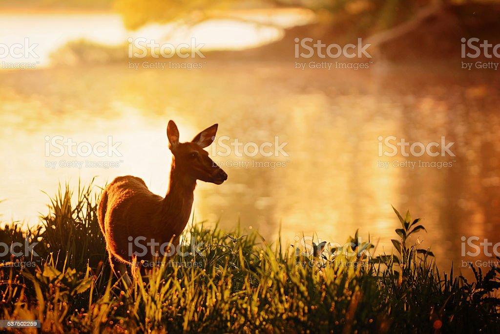 Summer Deer on Riverbank stock photo