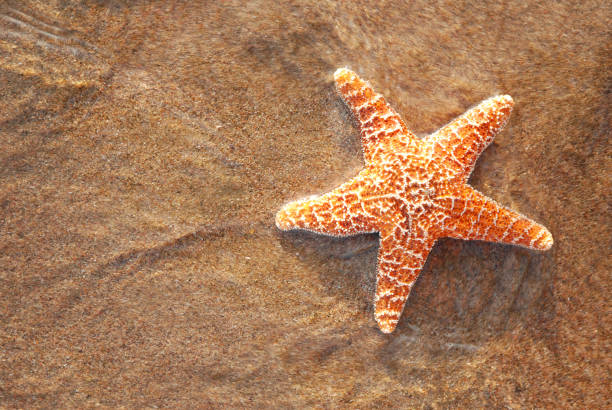 Summer dreams Star fish.More sea stars at:Starfish Lightbox starfish stock pictures, royalty-free photos & images