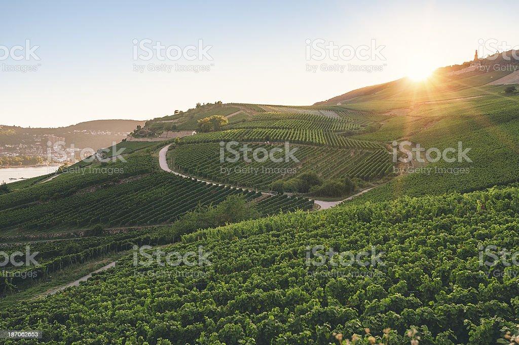 Summer evening in the vineyard stock photo