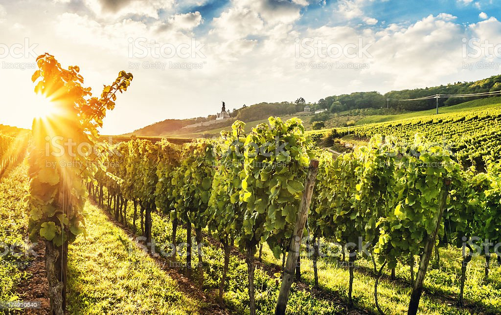 Summer evening vineyard stock photo