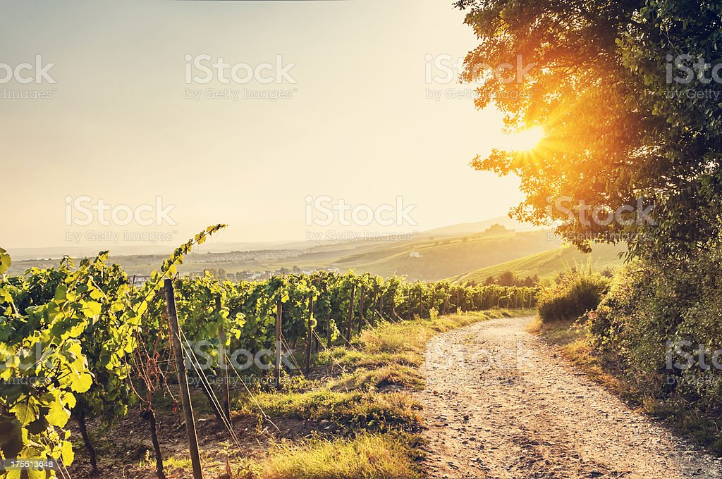Sommerabend vineyard – Foto