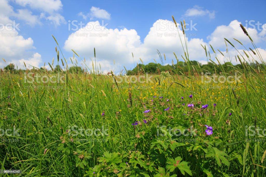 Summer field and blue sky with big clouds zbiór zdjęć royalty-free