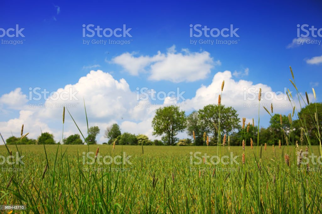 Summer field and trees royalty-free stock photo