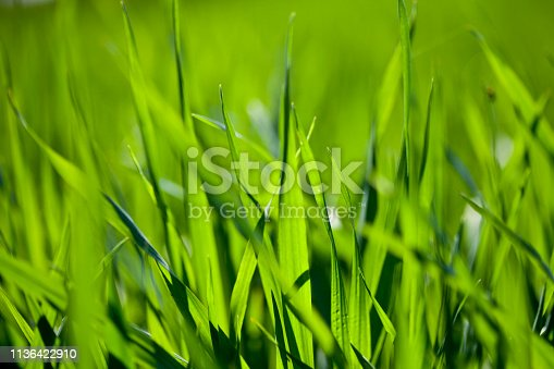 Summer field of green grass background.