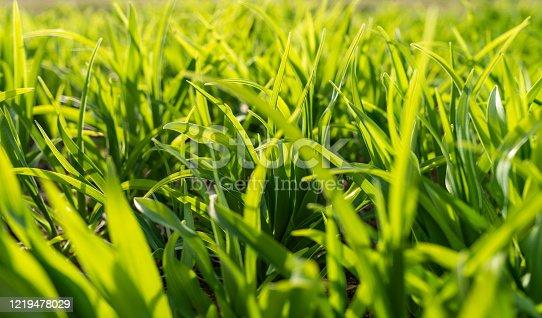 Summer field of Green Grass