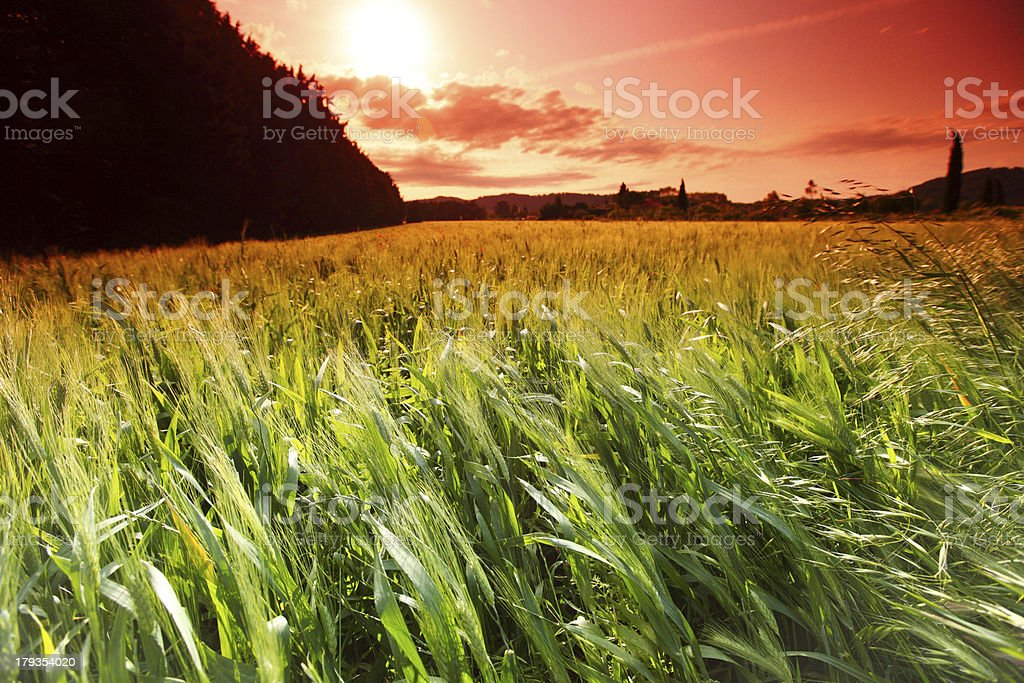 Summer field of wheat royalty-free stock photo