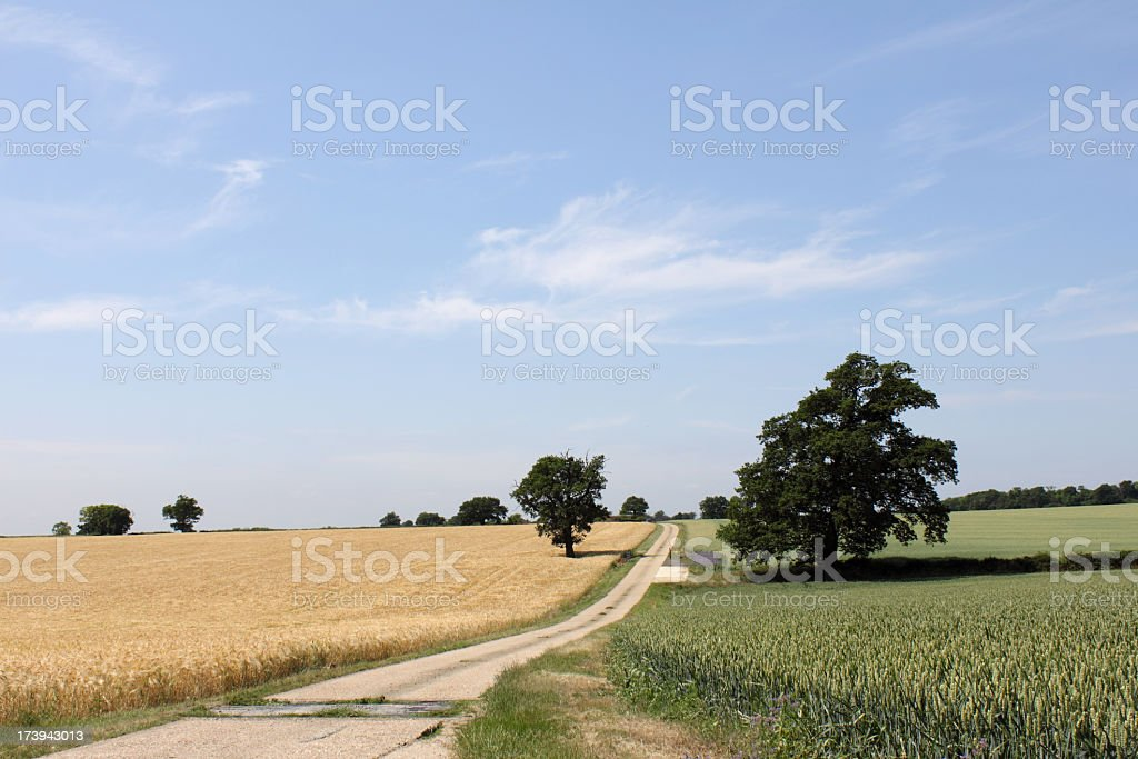 summer fields of barley and wheat, essex, england stock photo