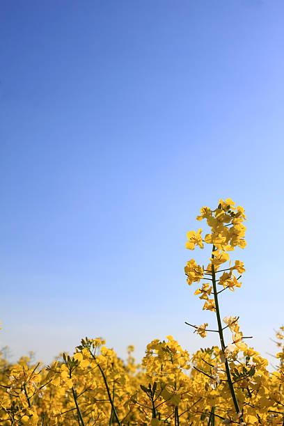 summer campos de óleo de semente de violação de canola, essex, inglaterra - standing out from the crowd (expressão inglesa) - fotografias e filmes do acervo