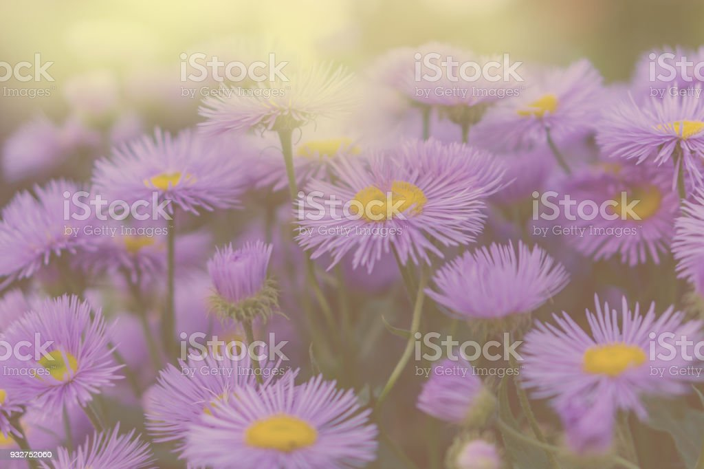 Summer fiesta of colors. Blossoming purple daisies in a colorful garden, lit by the hot sun rays. stock photo