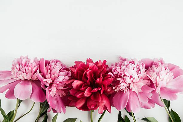 Verão fundo com flores cor de rosa e vermelho peônias - foto de acervo