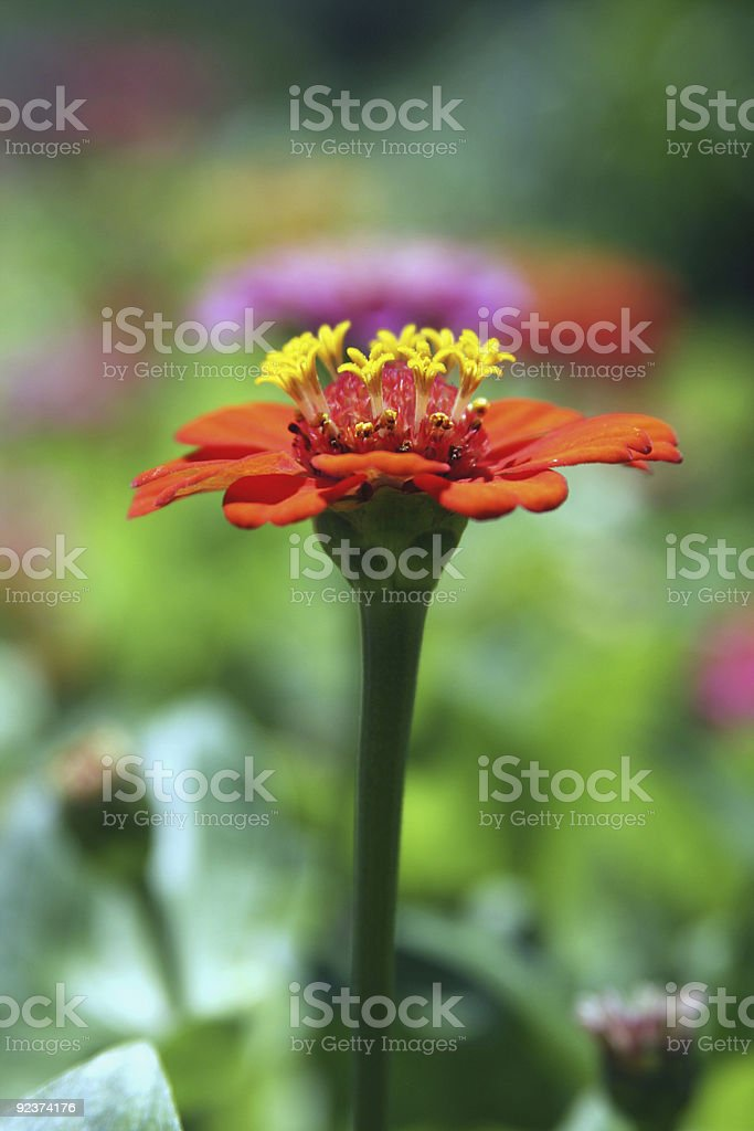 summer flower royalty-free stock photo