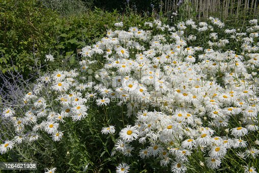 Phyllis Smith is a Frilly Leaved Shasta Daisy