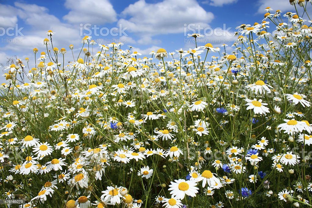 Summer flowers field royalty-free stock photo
