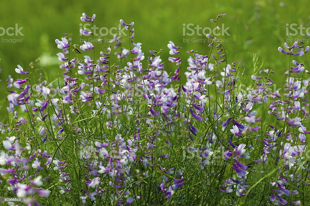 Summer flowers of the field royalty-free stock photo