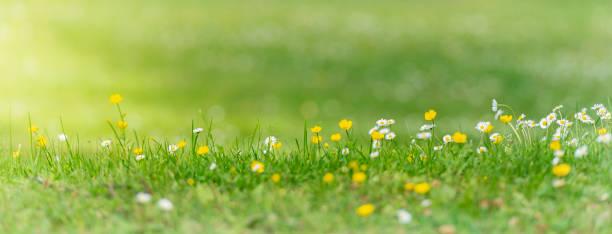 sommarblommor på gräsmatta - summer sweden bildbanksfoton och bilder