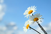 Three daisies with white petals against the blue sky on a sunny day