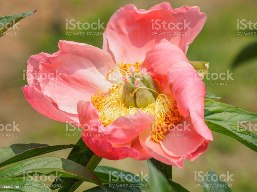 Summer flowers series beautiful pink peony flowers in garden stock summer flowers series beautiful pink peony flowers in garden royalty free stock photo izmirmasajfo