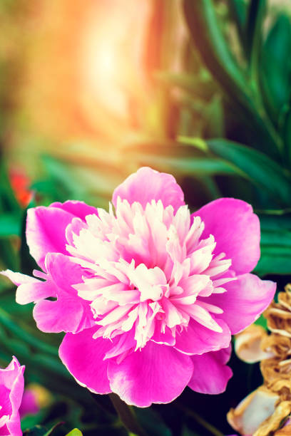 Summer flowers series, beautiful pink peony flowers in garden. Romantic pink peonies in spring garden. stock photo