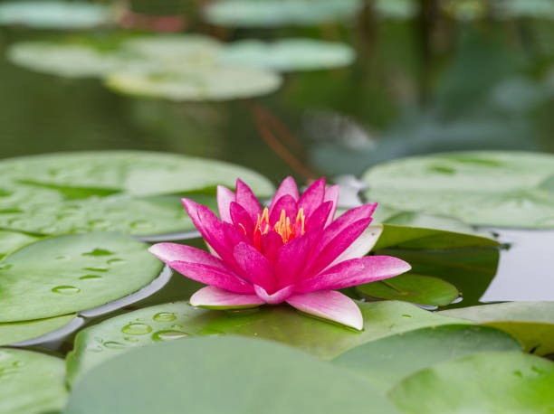 summer flowers series, beautiful water lily in pond. - wasserlilien stock-fotos und bilder