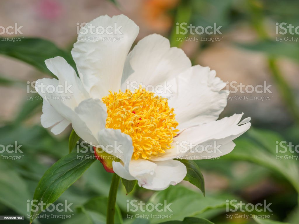 Summer Flowers Series Beautiful White Peony Flowers In Garden Stock