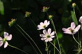 Summer flowers series, pink galsang flower in full bloom. stock photo