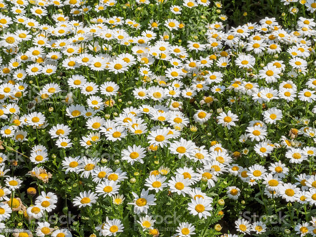 Summer flowers series white daisies field stock photo more summer flowers series white daisies field royalty free stock photo izmirmasajfo