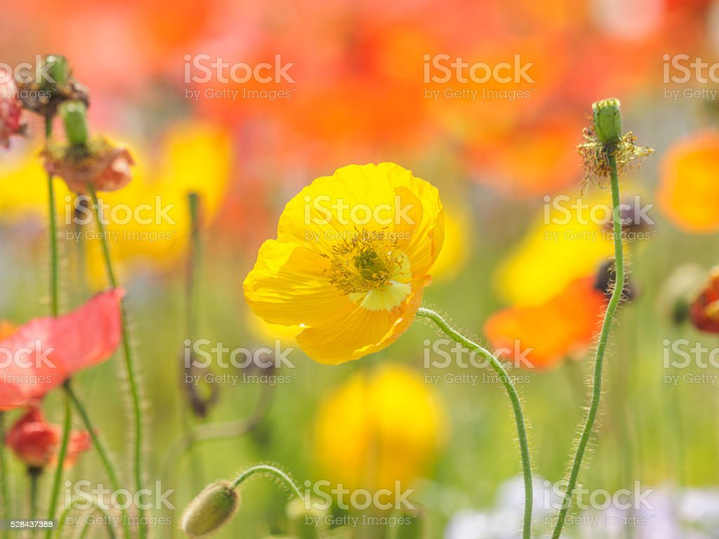 Summer Flowers Series Yellow Corn Poppy Stock Photo More Pictures