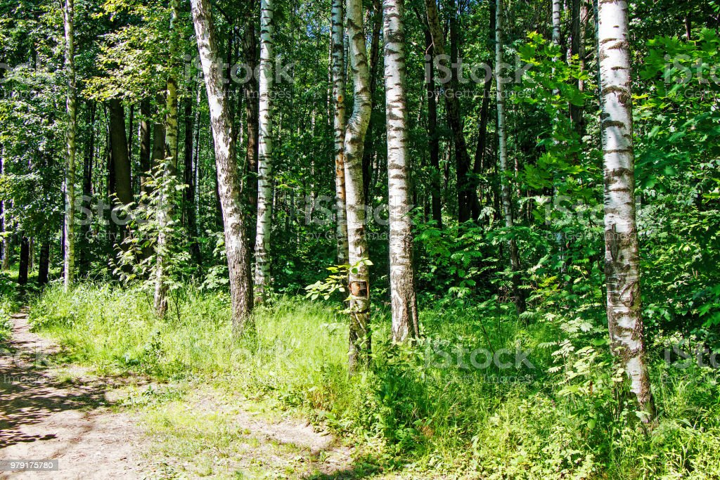 Summer forest landscape in sunny warm weather