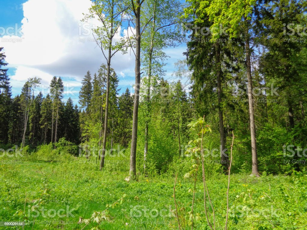 Summer forest. Nature of Eastern Europe in June. Beautiful flora of Europe stock photo