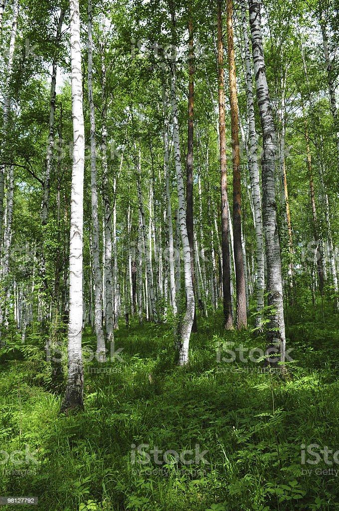 Summer forest scene royalty-free stock photo