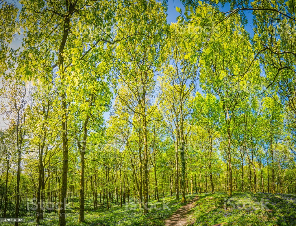 Summer forest vibrant green leafy foliage idyllic woodland canopy trail stock photo