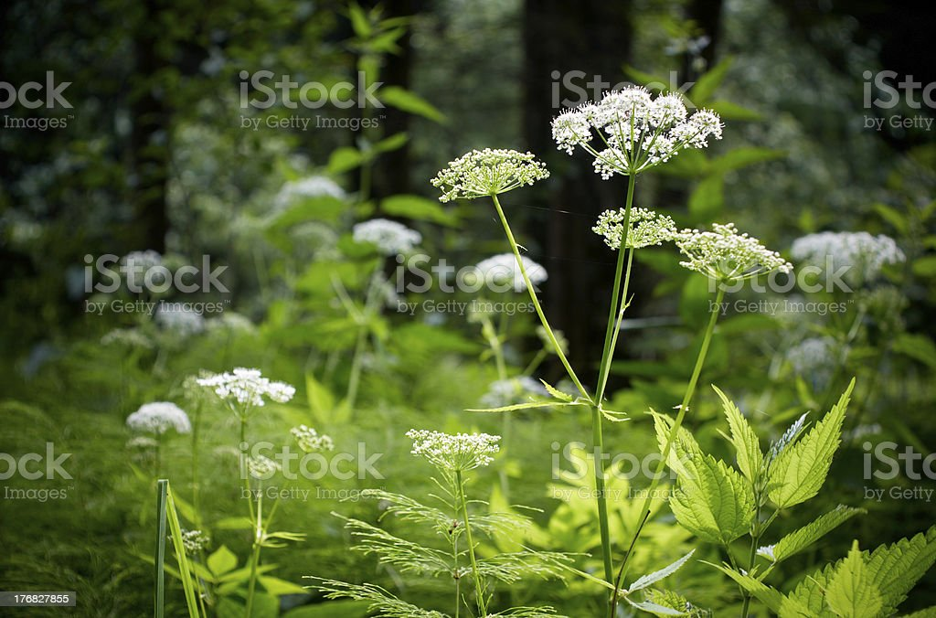 Summer forest with multiple white wild flowers. stock photo