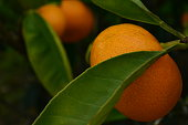 Mandarins on a baby bush, so sweet and juicy. And so utterly vibrant.