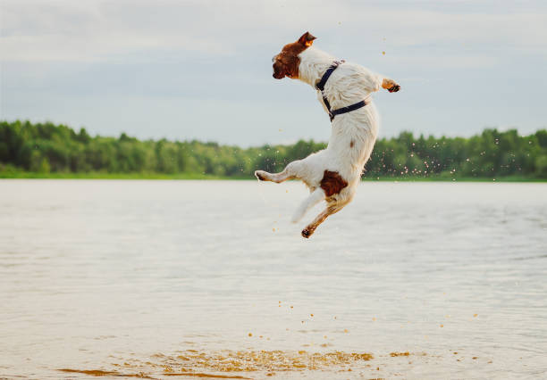 summer fun at beach with dog jumping high in water - dog jumping stock photos and pictures
