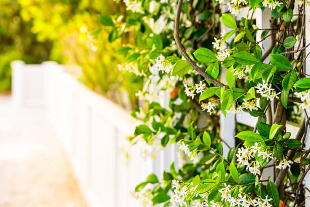 Summer garden clematis vine plant flowers outside closeup of blooms with sunlight and white fence in backyard copy space background stock photo