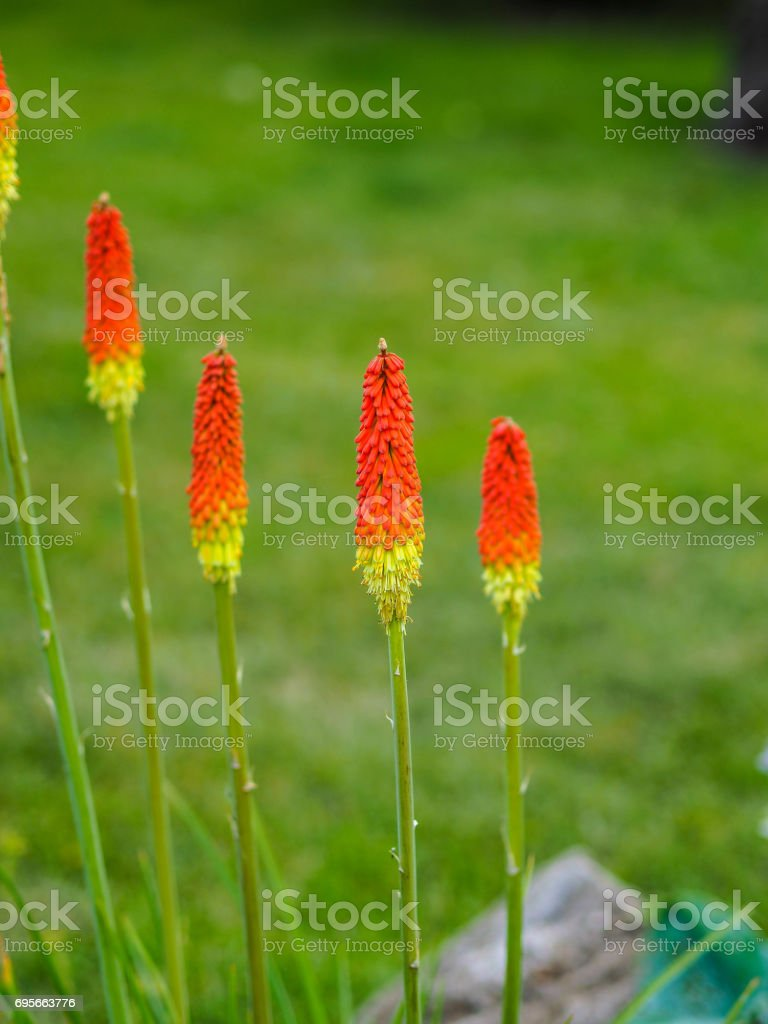 Summer garden flowers - red hot pokers stock photo