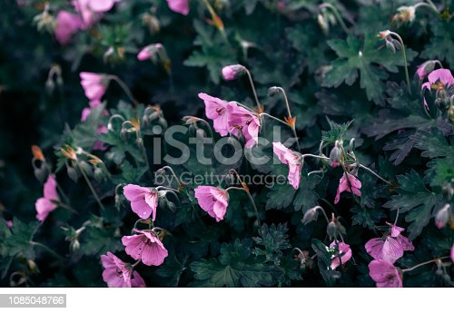 Summer garden geranium flower blooming