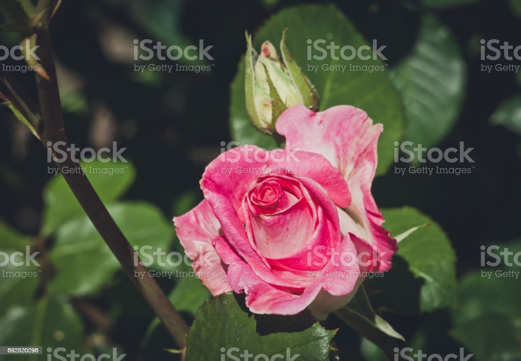 Picturesque summer garden of roses. A tender blooming pink rose of...