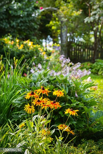 Black eyed susans in the forefront of flower beds in a summer garden.