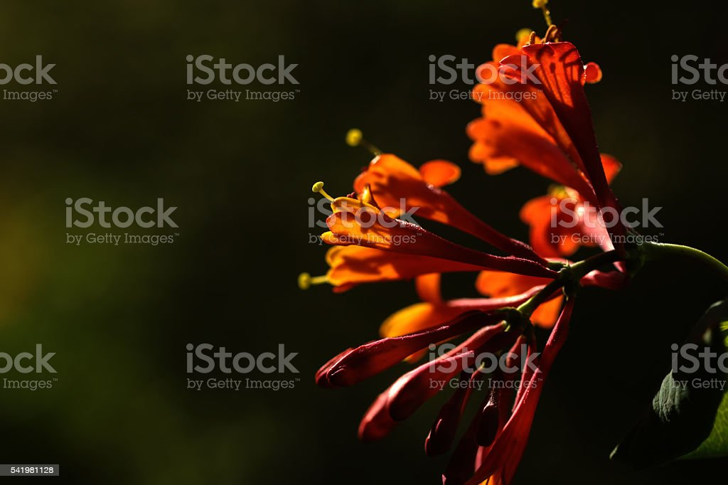 Summer garden. The blossoming honeysuckle. stock photo