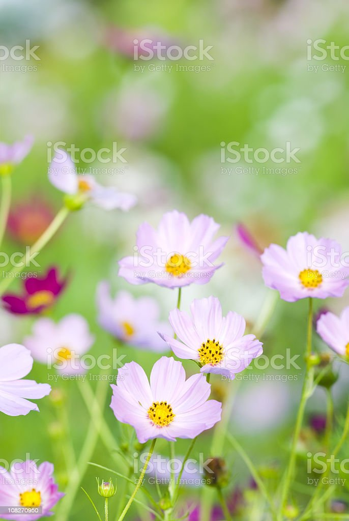 Summer garden with Cosmos flowers - V royalty-free stock photo