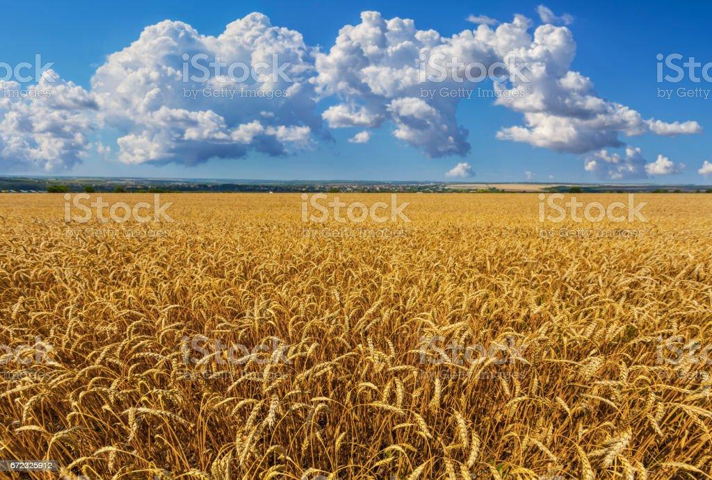 summer golden whet field panorama stock photo