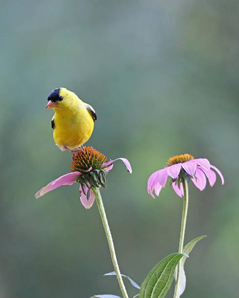 Summer Goldfinch stock photo