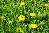 Summer grass field with blossom dandelion and honey bees.